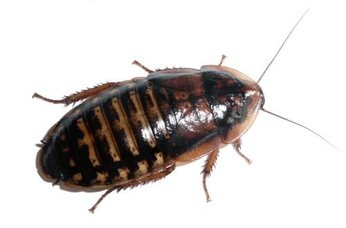 Šváb argentinský, krmný hmyz, Blaptica dubia.